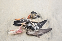Isle-of-Harris;Outer-Hebrides;Scotland;UK;coast;sea;tidal;Luskentyre;Luskentyre-Beach;sandy;shell-sand;washed-up;casualty;bird;sea-bird;Puffin-Atlantic-Puffin;Fratercula-arctica;wings;beak;red;orange;colourful;dead;skeleton;bone;breast-bone;climate-change;global-warming;sea-temperatures