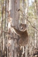 Koala;Koala-Bear;Australia;Victoria;Echuca;wildlife;leaves;tree;eucalyptus;branch;wild;tree;Red-Gum;Barmah-Forest;climate-change;global-warming;threatened;scarce;declining;population;woodland