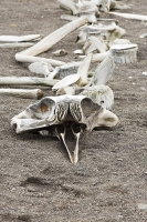Austral;South-Atlantic;Antarctic;Antarctic-Peninsular;southern-Ocean;island-Southern;Livingston-Island;Antarctica;skeleton;bone;whale;beaked-whale;washed-up;skull;vertebrae;back-bone;cetacean;beach;coast