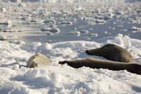 Austral;South-Atlantic;Antarctic;southern-Ocean;wildlife;pinniped;seal;Crabeater-seal;Lobodon-carcinophaga;Lobodon-carcinophagus;snow;resting;hauled-out;fur;coat;Drygalski-Fjord-ice;sea-ice;iceberg;hauled-out;rest;resting;populous;common;Antarctic-Krill;global-warming;climate-change