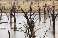 New-South-Wales;Australia;Lake-Hume-climate-change;global-warming;drought;dry;dried-up;water-supply;water-levels;lake;reservoir;water-shortage;tree;dead;revealed;shore;lake-shore;tree;dead;skeleton