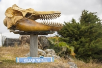 South-America;Austral;island;island-chain-Falkland;Falklands;Falkland-Islands;Malvinas;South-Atlantic;English;isolated;Port-Stanley;English;overseas-territory;whale;whaling;protest;hunting;no;sign;museum;Humpback-whale;bone;skeleton;sign;blue;harpoon;gun;whaling;skull;teeth;jaw;predator;Killer-whale;Orcinus-orca