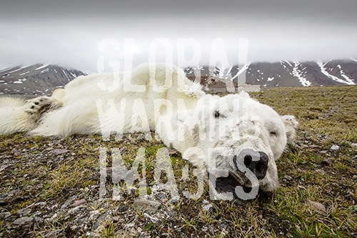 A male Polar Bear (Ursus maritimus) starved to death as a consequence of climate change. This male Polar Bear was last tracked by the Norwegian Polar Institute in April 2013 in Southern Svalbard. Polar bears need sea ice to hunt their main prey, seals. The winter of 2012/13 was one of the worst on record for sea ice extent. The western fjords on Svalbard that normally freeze in winter, remained ice free all season. This bear headed north, looking for suitable sea ice to hunt on. It travelled hundreds of miles north, finding no suitable sea ice to hunt on. It finally ran out of energy and collapsed exhausted and died. The future for Polar Bears looks bleak in a climate changing world. Recent scientific studies show that Polar Bears are getting thinner and weighing less, as they have less time to hunt in the winter and a longer fasting period in summer. Without sea ice, they starve to death.