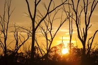 Victoria;Australia;climate-change;global-warming;drought;dry;dried-up;water-supply;water-levels;water-shortage;water-supply;water-security;tree;dead;dying;Red-Gum;Murray-River;Echuca;skeleton;sunrise;dawn;sun;silhouette