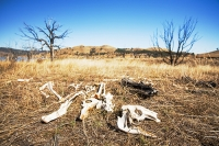 Victoria;Australia;climate-change;global-warming;drought;dry;dried-up;dead;bones;skeleton;Kangaroo;skull;ribs
