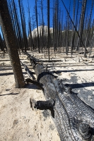 USA;US;America;California;light;sunlight;Yosemite-National-Park;tree;mountain;forest;nature;back-country;landscape;woodland;drought;climate-change;global-warming;dried-up;wild-fire;bush-fire;conifer;pine-tree;destroyed;destruction;black;blackened;burn;burnt;devastation;air-pollution;air-quality;carbon;greenhouse-gas;particles;ash;habitat;consequence;aftermath;Little-Yosemite-Valley;shade;shadow