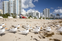 America;USA;Florida;Miami;beach;coast;ocean;sea;Atlantic;Atlantic-Ocean;Miami-Beach;morning;wave;shore;blue;light;real-estate;tower;tower-block;apartment;hotel;expensive;oceanfront;vulnerable;sea-level-rise;sand;sandy-beach;bird;tern;flock;Royal-Tern;Thalasseus-maximus