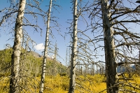 Black-Spruce-Spruce-Bark-beetle-trees-dead-Alaska-global-warming