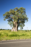 Baobab-tree;Shire-valley;Malawi;Africa;tree;tree-trunk;massive;large;girth;wide;Adansonia