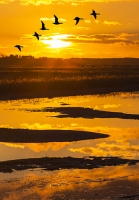 Cley-Next-the-Sea;North-Norfolk;UK;coast;sunlight;winter;sunset;glow;light;marsh;habitat;low-lying;salt-marsh;pool;pond;lake;water;reflection;sky;cloud;landscape;reed-bed;phragmites;orange;dusk;evening;goose;geese;flock;fly;flying;bird;flight;wing;composite;Brent-Goose