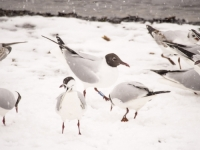 snow;Ambleside;Cumbria;UK;snowing;bird;feathers;plumage;weather;ornithology;lake;Windermere;beak;feet;orange;colourful;lake-shore;gull;seagull;Black-Headed-Gull;Larus-ridibindus;Chroicocephalus-ridibundus;duck;Mallard;flock;feeding;food;feeding-frenzy;compete;competition;survival-of-the-fittest