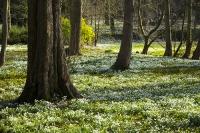 Spring;Winter;season;flower;wildflower;Snowdrop;Snowdrops;white;floor;understorey;woodland;delicate;Little-Walsingham;Abbey;Little-Walsingham-Abbey;abbey-grounds;Walsingham;Norfolk;UK;flower-head;tree;Aconite;Winter-Aconite;Eranthis-hyemalis