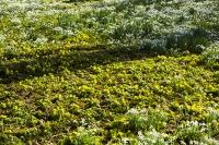 Spring;Winter;season;flower;wildflower;Snowdrop;Snowdrops;white;floor;understorey;woodland;delicate;Little-Walsingham;Abbey;Little-Walsingham-Abbey;abbey-grounds;Walsingham;Norfolk;UK;flower-head;Aconite;Winter-Aconite;Eranthis-hyemalis;sunlight