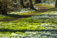 Spring;Winter;season;flower;wildflower;Snowdrop;Snowdrops;white;floor;understorey;woodland;delicate;Little-Walsingham;Abbey;Little-Walsingham-Abbey;abbey-grounds;Walsingham;Norfolk;UK;flower-head;tree;sunlight;shade;path;trail;footpath;route;water;river