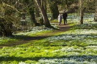 Spring;Winter;season;flower;wildflower;Snowdrop;Snowdrops;white;floor;understorey;woodland;delicate;Little-Walsingham;Abbey;Little-Walsingham-Abbey;abbey-grounds;Walsingham;Norfolk;UK;flower-head;tree;sunlight;shade;path;trail;footpath;route;water;river;couple;man;woman;stroll;strolling;walk;wallking;outdoors;exercise
