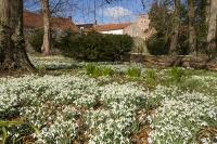 Spring;Winter;season;flower;wildflower;Snowdrop;Snowdrops;white;floor;understorey;woodland;delicate;Little-Walsingham;Abbey;Little-Walsingham-Abbey;abbey-grounds;Walsingham;Norfolk;UK;flower-head;tree
