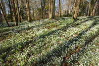 Spring;Winter;season;flower;wildflower;Snowdrop;Snowdrops;white;floor;understorey;woodland;delicate;Little-Walsingham;Abbey;Little-Walsingham-Abbey;abbey-grounds;Walsingham;Norfolk;UK;flower-head;tree;contrast;light;shade;sunlight