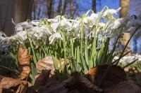 Spring;Winter;season;flower;wildflower;Snowdrop;Snowdrops;white;floor;understorey;woodland;delicate;Little-Walsingham;Abbey;Little-Walsingham-Abbey;abbey-grounds;Walsingham;Norfolk;UK;flower-head;tree;leaf-litter;leaf