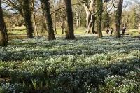 Spring;Winter;season;flower;wildflower;Snowdrop;Snowdrops;white;floor;understorey;woodland;delicate;Little-Walsingham;Abbey;Little-Walsingham-Abbey;abbey-grounds;Walsingham;Norfolk;UK;flower-head;tree;path;trail;couple;people