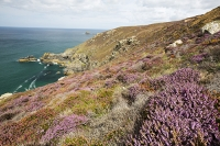 St-Agnes-Cornwall;UK;coast;sea;Atlantic-ocean;headland;edge;moor;moorland;heather;flower;flowering;pink;heather;ling;Calluna-vulgaris;summer;August;blooming;flowering;carpet;Bell-Heather;Erica-cinerea;sea-cliff;vegetation;flora;grass