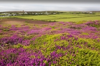St-Agnes-Cornwall;UK;coast;sea;Atlantic-ocean;headland;edge;moor;moorland;heather;flower;flowering;pink;heather;ling;Calluna-vulgaris;summer;August;blooming;flowering;carpet;Bell-Heather;Erica-cinerea;sea-cliff;vegetation;flora;St-Agnes-Beacon;field;green;grass;gorse;gorse-bush;prickly