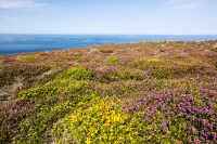 Zennor;Cornwall;UK;coast;sea;Atlantic-ocean;headland;edge;moor;moorland;heather;flower;flowering;pink;heather;ling;Calluna-vulgaris;summer;August;blooming;flowering;carpet;Bell-Heather;Erica-cinerea;sea-cliff;vegetation;flora;grass;gorse;gorse-bush;bay;inlet;sea-cliff;turquoise;aquamarine;promontary;landscape;colourful