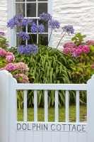 Roseland-peninsular;Cornwall;old;house;Dolphin;name;gate;colourful;shade;pastel;pastel-shades;door;front-door;front-gate;flower;Agapanthus;blue;pink;Hydrangea;Portscatho