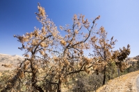 USA;US;America;California;desert;Tehachapi-Pass;brown;drought;dessicated;dried-up;climate-change;global-warming;tre;pine-tree;conifer;branch;needle;pine-needle;pine-cone;dead;dying;killed