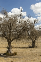 USA;US;America;California;brown;drought;dessicated;dried-up;climate-change;global-warming;parched;Kern-County;Bakersfield;ranch;dessicated;dead;killed;tree;branch;starved;water-shortage