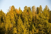 USA;US;America;California;light;sunlight;Yosemite-National-Park;Autumn;Fall;tree;mountain;forest;granite;rock;batholith;geology;weathering;erosion;igneous;dome;woodland;river;conifer;Pine-tree;fir-tree;brown;orange;colour;colourful;glow;orange;sunset