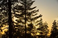 USA;US;America;California;light;sunlight;Yosemite-National-Park;Autumn;Fall;tree;mountain;forest;granite;rock;batholith;geology;weathering;erosion;igneous;dome;woodland;river;conifer;Pine-tree;fir-tree;brown;orange;colour;colourful;glow;orange;sunset;silhouette