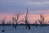 Lake-Mulwala;Yarrawonga;reservoir;Victoria;Australia;climate-change;global-warming;drought;dry;dried-up;water-supply;irrigation;irrigation-water;tree;dead;revealed;dam;dammed;Murray-River;lake;drowned;colour;sunrise;dawn;glow;cloud;sky
