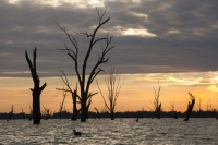 Lake-Mulwala;Yarrawonga;reservoir;Victoria;Australia;climate-change;global-warming;drought;dry;dried-up;water-supply;irrigation;irrigation-water;tree;dead;revealed;dam;dammed;Murray-River;lake;drowned;colour;sunrise;dawn;glow;cloud;sky;Black-Swan;swan