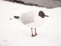snow;Ambleside;Cumbria;UK;snowing;bird;feathers;plumage;weather;ornithology;lake;Windermere;beak;feet;orange;colourful;lake-shore;gull;seagull;Black-Headed-Gull;Larus-ridibindus;Chroicocephalus-ridibundus