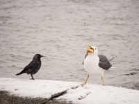 snow;Ambleside;Cumbria;UK;snowing;bird;feathers;plumage;weather;ornithology;lake;Windermere;beak;feet;colourful;lake-shore;gull;seagull;food;Lesser-Black-Backed-Gull;Jackdaw;Larus-fuscus;Corvus-monedula;mouth-full;comopete;competition;swallow;swallowing;gulp