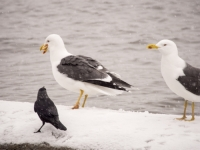 snow;Ambleside;Cumbria;UK;snowing;bird;feathers;plumage;weather;ornithology;lake;Windermere;beak;feet;colourful;lake-shore;gull;seagull;food;Lesser-Black-Backed-Gull;Jackdaw;Larus-fuscus;Corvus-monedula;mouth-full;compete;competition