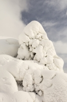 Helvellyn;Lake-District;Cumbria;UK;winter;weather;extreme-weather;white;snow;cold;snowpack;snow-drift;drifting-snow;Holly;tree;trunk;weight;heavy;Thirlmere;National-Park;snow-storm;blizzard;prevailing-wind;windy;wind;pattern;freezing;shape;pattern;form;plastered;covered;covering;white