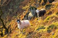 Autumn-colours;Ambleside;Lake-District;Cumbria;UK;view;vista;hill;season;Fall;yellow;Fall-colours;Fairfield;ridge;tree;woodland;Rydal;Rydal-Valley-wood;Ash-tree;light;glow;glowing;sunset;light;shade;bracken;brown;slope;steep;Nab-Scar;stock;grazing;sheep;Herdwick
